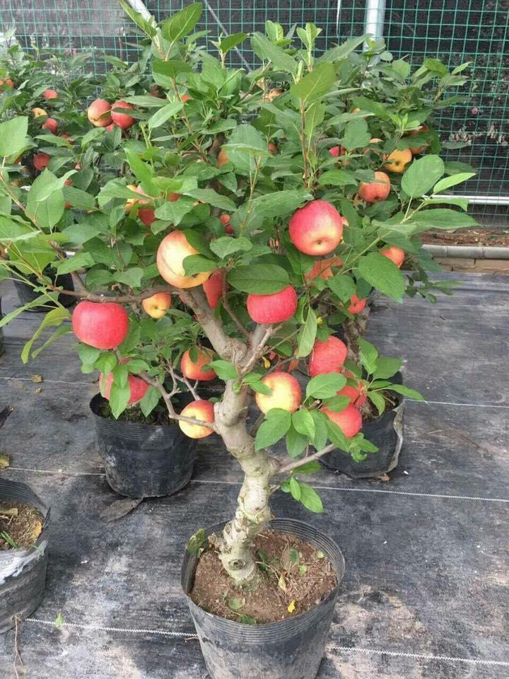 Táo đỏ Trung Quốc nguyên cây trưng Tết: Có độc, cấm ăn - Ảnh 3