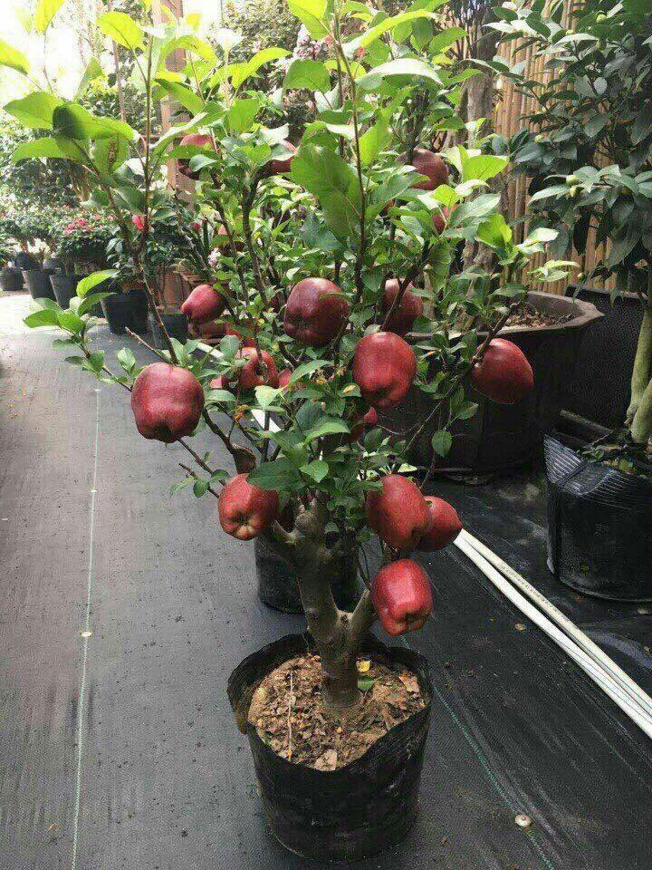 Táo đỏ Trung Quốc nguyên cây trưng Tết: Có độc, cấm ăn - Ảnh 1