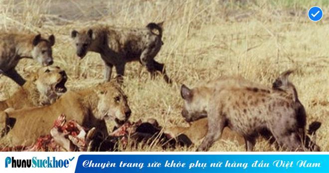 Bầy linh cẩu HÁU ĐÓI điên cuồng tấn công sư tử cái để GIÀNH THỨC ĂN, cái kết nào cho kẻ chuyên cướp mồi XẤU XA