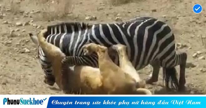 Bị sư tử NGOẠM cổ, ngựa vằn lên chiến thuật ĐỘC, DÌM kẻ đi săn sặc nước để thoát thân và cái kết