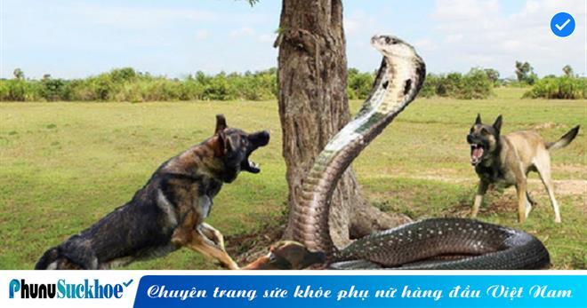 Cận cảnh toàn bộ cuộc TỬ CHIẾN của hổ mang chúa và 5 con chó nhà, NỌC ĐỘC hay SỨC MẠNH sẽ chiến thắng?