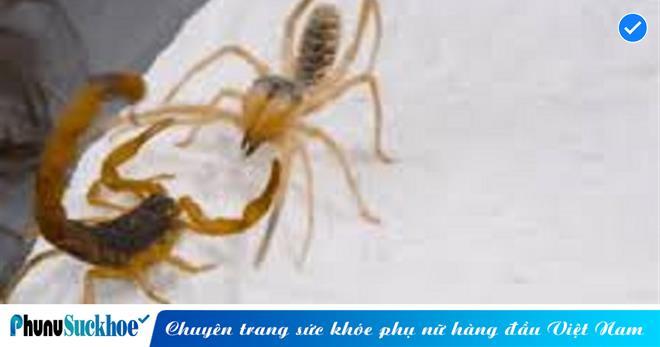 Cùng với bọ cạp 'so găng', nhện lạc đà thua thảm trong lượt đi nhưng thắng đậm ở lượt về nhờ chiến thuật thông minh