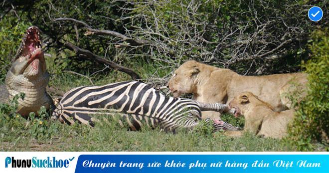 Không hổ danh là chúa tể sơn lâm, sư tử có pha VỒ MỒI điêu luyện HẠ GỤC ngựa vằn vừa THOÁT KHỎI hàm cá sấu