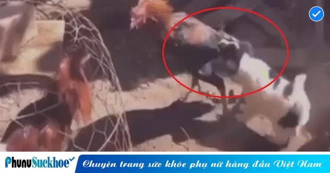 Không muốn có ẨU ĐẢ xảy ra, chó con ra sức KÉO ĐUÔI gà trống đang HĂNG MÁU, tình huống đáng yêu thu hút triệu view