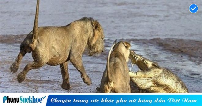 LẠC BƯỚC lên bờ, cá sấu gặp phải KHẮC TINH, quyết liệt chống trả lại 2 con sư tử để GIÀNH GIẬT sự sống và cái kết
