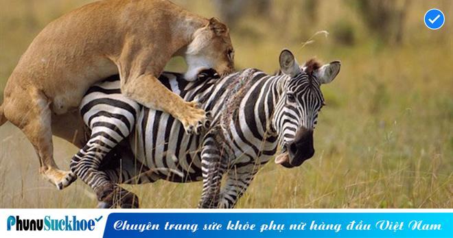 Bị sư tử đu bám trên lưng, ngựa vằn tưởng cầm chắc cái chết không ngờ có pha 'lật kèo' đỉnh cao hành đối thủ thừa sống thiếu chết