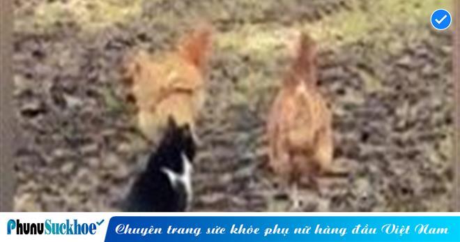 Thấy bạn bị mèo vồ, gà 'song kiếm hợp bích' lao vào mổ tới tấp khiếp đối thủ khiếp vía... chạy vắt chân lên cổ