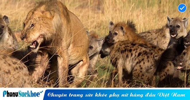 Vô tình lọt vào lãnh thổ của 20 con linh cẩu ranh mãnh và khát máu, sư tử quyết định 'tử chiến' và cái kết khó tin