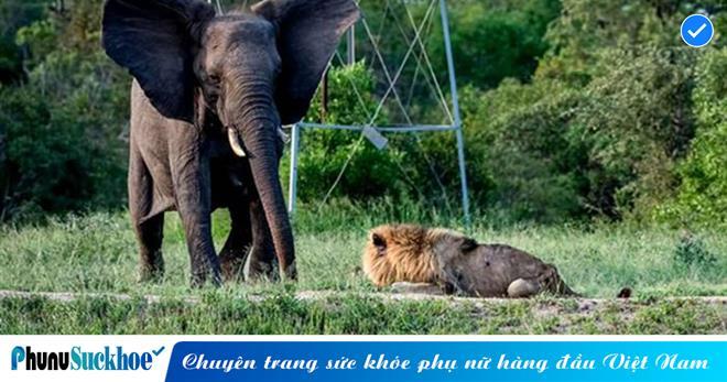 Định xơi tái voi con, sư tử 'gặp hạn' bị voi phản đòn, đánh cho 'chạy mấy dép' không dám quay đầu