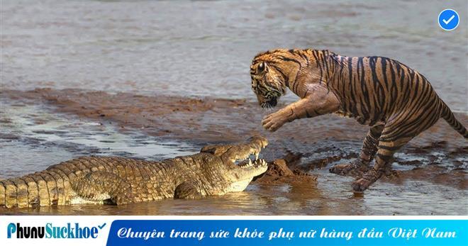 """Bị """"nữ hoàng"""" hổ trèo lên lưng tung đòn chết chóc, cá sấu """"khủng"""" dài 4,3 mét phản đòn vô cùng dũng mãnh và cái kết"""