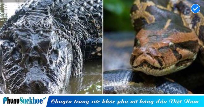 Hùng hổ kéo trăn khủng xuống nước ăn thịt, bỗng dưng cá sấu 'bỏ của chạy lấy người'  vì lý do khó đỡ
