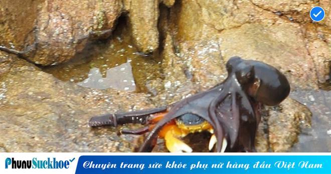Bạch tuộc 'phi thân' lên cạn để săn mồi, cua biển đen đuổi trở thành đại tiệc cho kẻ lắm tua