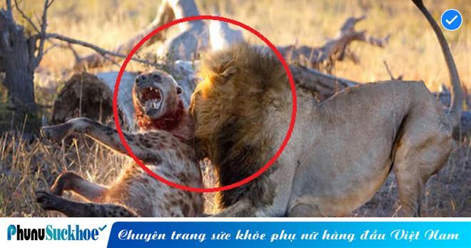 Đang mải miết ăn thịt thừa, linh cẩu bị một BÓNG ĐEN từ xa lừ lừ tiến tới cắn đến GÃY CỔ