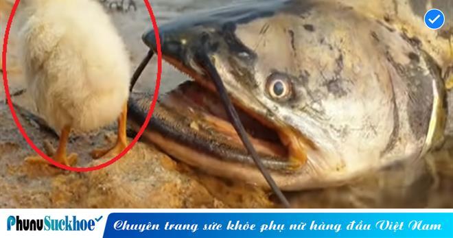 Đang uống nước ngon lành bên bờ sông thì THỦY QUÁI xuất hiện, chú gà con may mắn suýt nữa thì vào bụng con cá háu đói