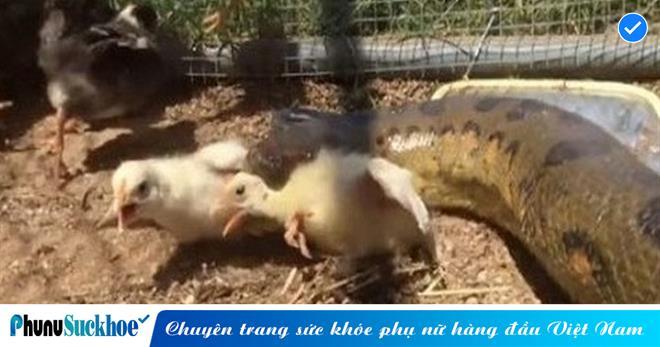 Lẻn vào chuồng gà ăn trộm mồi nhưng lại 'ngủ quên', trăn khủng nặng 60kg được người dân tóm gọn