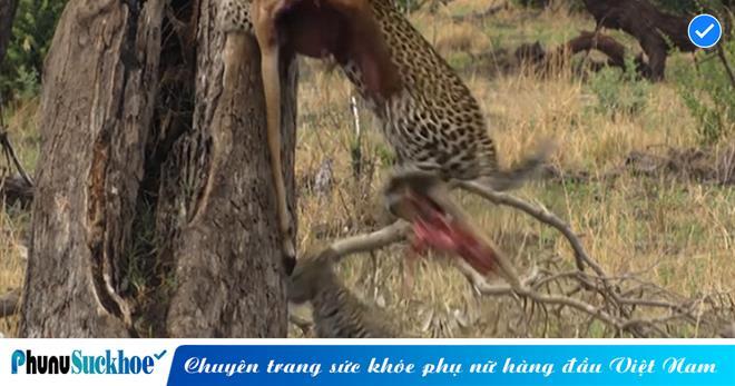 Tham ăn đến suýt mất mạng, báo hoa mai mê mồi xém bị chó hoang Châu Phi xử thịt tại rừng xanh