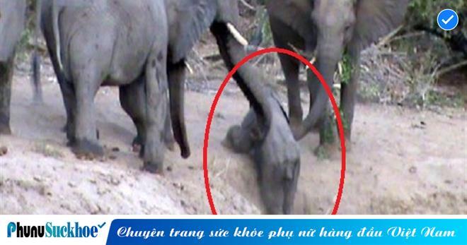 Vừa là loại vật có kích cỡ đứng đầu, voi còn thể hiện tinh thần đoàn kết số 1 khi cản đàn giúp voi con leo dốc