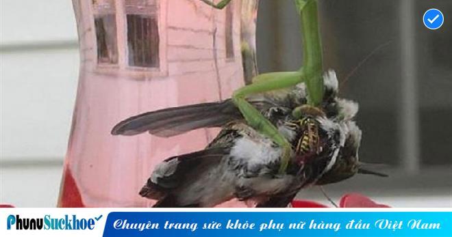 Bọ ngựa sử dụng ĐỘC CHIÊU 'đường lang quyền' hạ gục chim ruồi trong vòng một nốt nhạc khiến ai cũng phải ngỡ ngàng