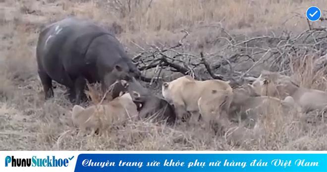 Cả đàn sư tử đang thưởng thức con mồi thì bất ngờ 'kẻ lạ mặt' TO XÁC lao đến tranh ăn, phản ứng của 'chúa sơn lâm' khiến ai cũng ngỡ ngàng