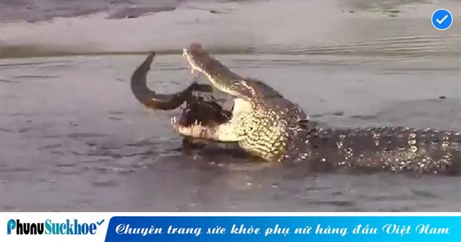 'Chúa tể đầm lầy' thể hiện khả năng săn cá điêu luyện, chỉ trong nháy mắt đã ngoạm chặt con mồi trong miệng