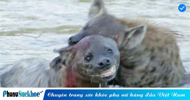 Hai con linh cẩu quyết chiến tranh giành lãnh thổ, 'đánh nhau thừa sống thiếu chết' trên bờ chưa đủ còn kéo nhau làm trận 'THỦY CHIẾN'