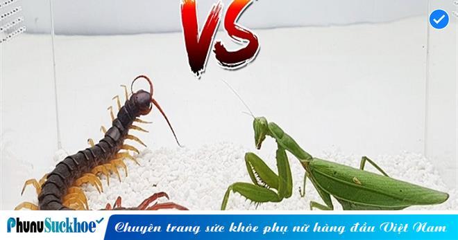 Trận quyết chiến sinh tử giữa KUNGFU bọ ngựa và 'quái vật lắm chân', kẻ thua cuộc sẽ trả giá bằng cả mạng sống