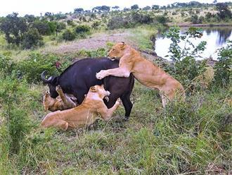 Bị 5 sư tử đánh hội đồng, trâu rừng nổi điên húc toạc nách sư tử cái, khiến cả đàn chạy tán loạn