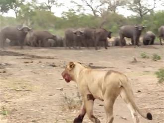 Bị trâu rừng 'truy sát' ngược, sư tử 'ôm đầu máu' tháo chạy với khuôn mặt hoảng loạn