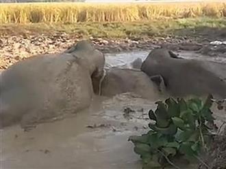 Cả làng hợp sức giải cứu đàn voi bị sa lầy, hình ảnh cảm động lúc voi con rời đi