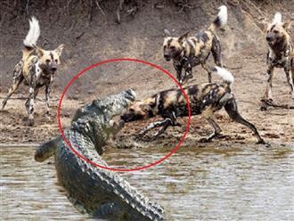 Cá sấu khổng lồ một mình chấp hết đàn chó hoang 10 con hung hãn và cái kết bất ngờ