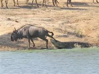Cận cảnh màn thoát chết thần kỳ của linh dương đầu bò trước hàm cá sấu 'tử thần'