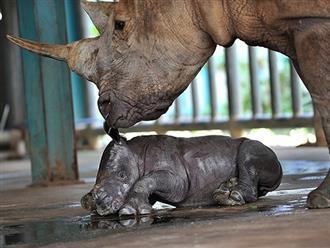 Cảnh tượng hiếm thấy, con tê giác cực quý hiếm hạ sinh trong khu bảo tồn