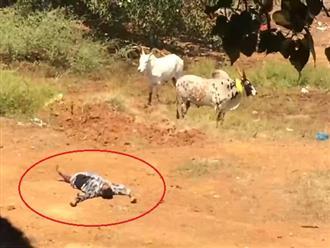 'Chuyện lạ ly kỳ' người đàn ông giả chết trốn bò tót, khi nó bỏ đi lại làm hành động khiêu khích và cái kết