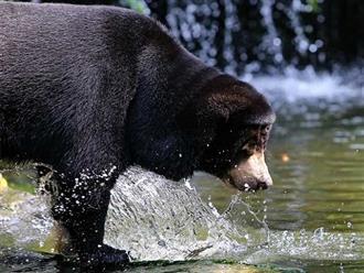 Cuộc thủy chiến khốc liệt giữa gấu đen và nai sừng xám trong làn nước lạnh giá, sức mạnh có chiến thắng tất cả