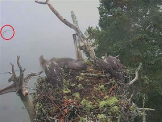 Đại bàng hói 'gian ác' ra tay thảm sát tổ chim ưng, một con bị bắt… năm trước còn thảm hơn khi chim con bị bắt đi hết