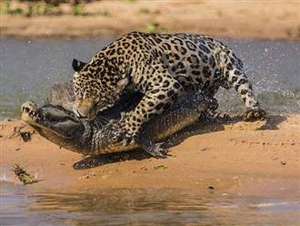 Đang mải săn mồi dưới nước, cá sấu đâu ngờ mình lại thành 'buổi trưa' của báo đốm
