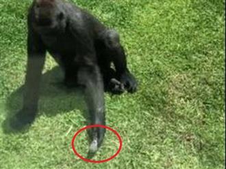 Lịm tim trước phản ứng siêu đáng yêu của chú khỉ đột khi gặp một con chim bị thương