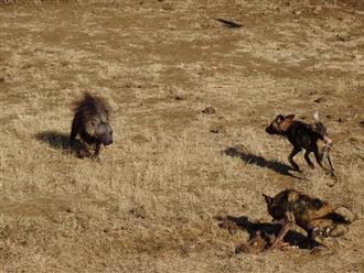 Linh cẩu con một mình đại chiến với đàn chó hoang và kết cục không thể ngờ