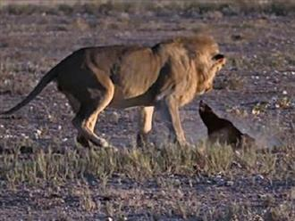 Lửng mật lớn gan quay ngược phản đòn khi sư tử tiếp cận, kẻ đi săn nguy hiểm cũng phải ngỡ ngàng