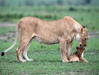 Nhói tim trước khoảnh khắc sư tử mẹ đau đớn phát hiện con mình chết, 'cất tiếng khóc nức nở'