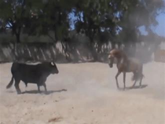 Nhốt chung ngựa và bò tót trong một sàn đấu, kẻ chiến thắng gây bất ngờ ở giây cuối cùng!