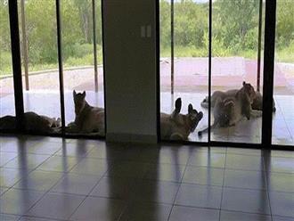 Sáng vừa mở mắt dậy, thấy 6 con sư tử 'bao vây nhà', cảnh tượng kinh hoàng