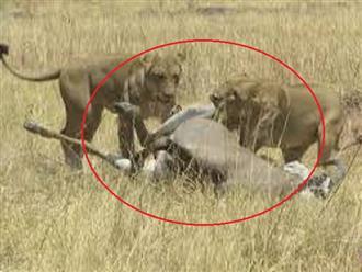 'Trình đi săn bị lỗi', sư tử dễ dàng vật ngửa linh dương, nhưng lúng túng kết liễu con mồi và cái kết