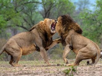 Tranh giành con mồi, 3 đàn sư tử lao vào nhau 'đại chiến' rúng động rừng xanh, nhưng cái kết 'hạ màn' lại khiến nhiều người... phì cười