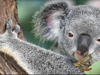 Loài thú có dấu vân tay gần giống con người