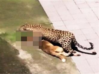 Dám vật ngửa báo săn ra đất để trêu đùa chó nhà nhận về cái kết đắng