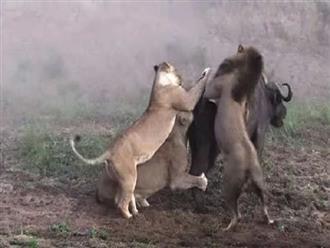 Không để bị mất uy nghiêm, cả bầy sư tử phải hạ gục cho bằng được dù con mồi đầy ngoan cố và cứng đầu