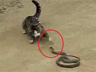 Một mình không vui, mèo nhà rủ bạn 'kiếm chuyện' với rắn độc, cái kết khiến người xem cười 'bể bụng'