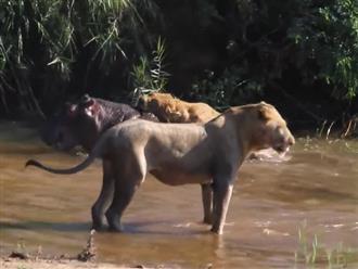 Sư tử cái chồm lên lưng hà mã, dùng răng nanh, móng vuốt ghim vào lớp da dày của hà mã hàng giờ dưới sông