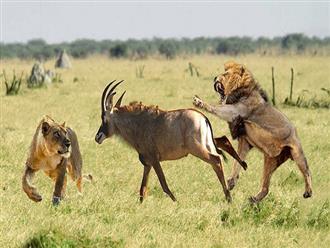 Vợ chồng sư tử hợp sức vật ngửa linh dương, vừa hạ sát con mồi nó lại lúng túng bỏ cuộc vì lí do này